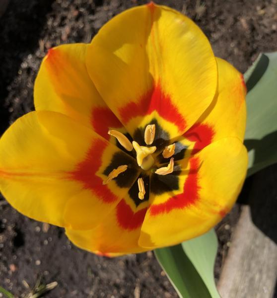 Tulipe balcon